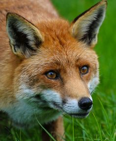 Red Fox by Chris Parker2012 - Chris Parker