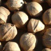 American Pine Nuts | Order Pinenuts | Wild Crops | PineNut.com