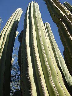 Saguaro. Los saguaros solo crecen en el desierto del Sonora y pueden vivir hasta 150 años.