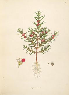 v.2 - Plants of the coast of Coromandel : - Biodiversity Heritage Library