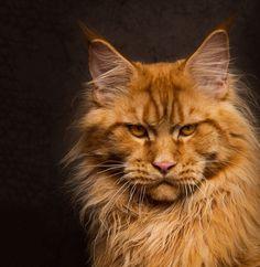 Потрясающие портреты кошек от Robert Sijka