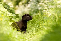 A dark Labrador puppy in a field of grass Chocolate Lab Puppies, Chocolate Labs, Funny Dog Pictures, Happy Pictures, Pet Day, Dog Photos, Dog Friends, I Love Dogs, Animal Photography