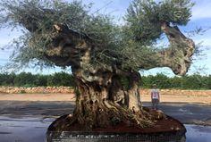 ¿Está buscando comprar un árbol de gran tamaño para decorar su jardín? Los olivos monumentales centenarios de España son su mejor opción. ¡Descúbralos! Centenario, Landscape Design, Landscaping, Trees, Shopping, Garden Layouts, Olive Tree, Vivarium, Searching