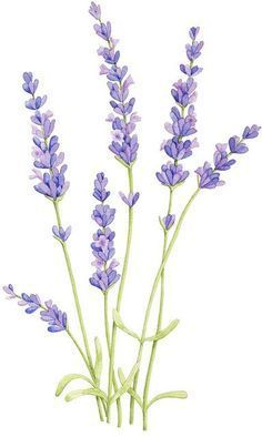 free watercolor lavender - Google Search