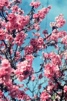 What an impressive picture of some Cherry blossoms. These are one of my absolute favorite #flowers, and they stand out beautifully against the bright blue sky.