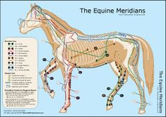 equine meridian chart | The Equine Meridians