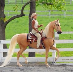 This Western American Saddlebred is a good example of the breeds distinctive body type