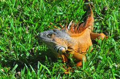 Iguana at Enchanted Forest Park