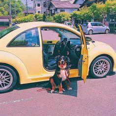 * 愛車とリブちん フラワーベースがついてて大好きだったビートル . 次はJEEPラングラーか ピックアップに乗ると決めているのだ 大好きなリブに会いたいなぁ…45キロの私の妹✨ おやすみなさい * #beetle#yellow#car#フォルクスワーゲン#ビートル#volkswagen #リブ#愛車#愛犬#バーニーズマウンテン#神奈川#ドライブ#ワンコ