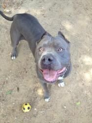 Johnny is an adoptable Pit Bull Terrier Dog in Lombard, IL.  Hi- I am Big Boy Johnny. I am neutered 2 yrs. old and a 80 lb. heavyweight American Bully. But don't let my size fool you cause I am a lov...