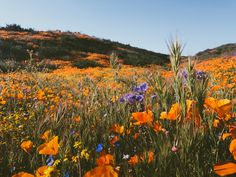 leaberphotos:  Superbloom  Diamond Valley Lake California  instagram