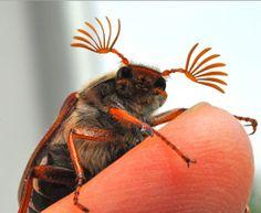 Cockchafer beetles that Elfi found! http://elf2mani.blogspot.com/2012/05/lannee-du-hanneton.html