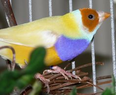 I never got to breed the hybrid yellow split to blue Gouldian I had. There is always next time!