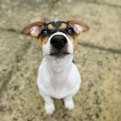 <3 Jack Russells, hard not to love their feisty little selves