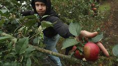 Schlechte Ernten in Deutschland: Äpfel werden deutlich teurer