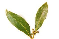 Laurel Tree, Laurel Leaves, Bay Leaves, Plant Leaves, Laurel Wreath, Marian Garden, Lemon Eucalyptus Essential Oil, Best Mosquito Repellent, Laurus Nobilis