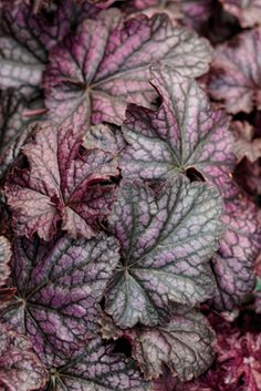 Heuchera 'Black Currant'
