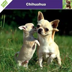Calendrier chien 2017 - Race Chihuahua - Affixe Edition