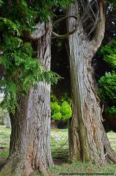 Magnificent old yew trees in St Andrew's Churchyard, Dacre, Cumbria, England
