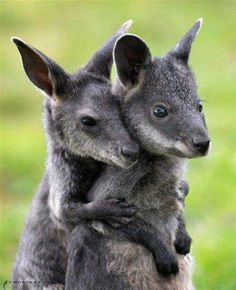 Baby Wallabies... Wallabies, like their close kangaroo relatives, have long tails for balance and large feet and strong legs for jumping great distances.