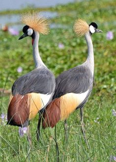 Grey-crowned Crane (Balearica regulorum)