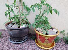 Pour avoir de belles récoltes de tomates en pots, la 1ère chose c'est d'utiliser un mélange riche (pas de terreau), et la 2ème chose c'est de ne jamais...
