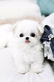 Allan Teacup Maltese Home Is Fully Dedicated To Providing Maltese