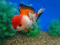 Image result for oranda