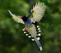 Taiwan Blue Magpie3