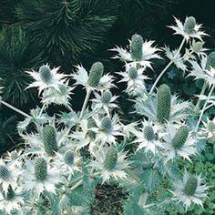 Silvermartorn 'Miss Wilmot's Ghost': (Eryngium giganteum)