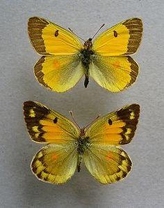 Colias chrysotheme - Wikipedia, the free encyclopedia