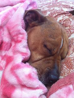 How every pittie should sleep every night.