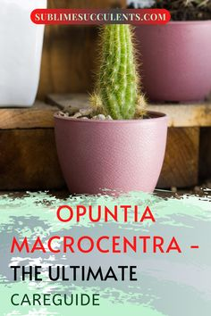 The Opuntia Macrocentra is a plant that stands out in any garden. With flowers and fruit, Sublime Succulents wants to show you what this cactus needs so that it will continue flourishing so you can enjoy it for years to come. With the right soil conditions, watering schedule, and temperature, this perennial will thrive from year to year. So download our guide and follow our instructions and you will be pleased with the results… #opuntiamacrocentraguide #floweringsucculents #succulentfruits Flowering Succulents, Indoor Succulents, Succulent Planter Diy, Succulent Care, Cacti And Succulents, Cactus Plants, Cactus Care, Amazing Gardens, Perennials