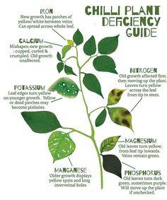 phosphorus deficiency in plants - Szukaj w Google