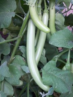 Raveena - Exotic Japanese Eggplant