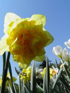 Narcis Garden, Plants, Garten, Lawn And Garden, Gardens, Plant, Gardening, Outdoor, Yard