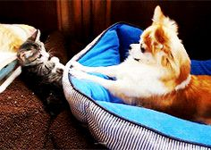 This Puppy Say My Bed See this dog in action here http://pewpaw.com/video-my-labrador-camila-and-her-kitten-tobias-reunited/