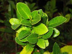 Laurelia sempervirens   Trees   Patagonia Plants