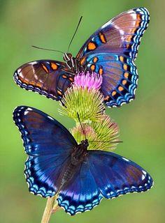 Butterflies on burdock