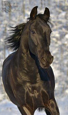 Beautiful black horse. - from Equestrian.ru