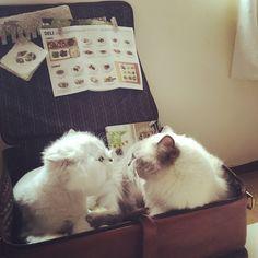 Look into your eyes#cats #kitten #lovecats #ragdoll #chinchilla #Persian #kitten #meow #lovecat