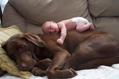 Love those chocolate labs!  So cute!