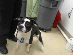03/05/15-HOUSTON - HURRY!! SUPER URGENT - RESCUE ONLY - MIRACLE NEEDED TO STAY ALIVE - This DOG - ID#A426982 I am a male, black and white Pit Bull Terrier mix. My age is unknown. I have been at the shelter since Mar 04, 2015.