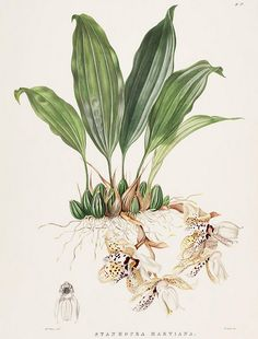 Stanhopea martiana | Flickr - Photo Sharing!