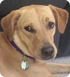8/11/16 Warrington, PA - Labrador Retriever Mix. Meet Pixie a Dog for Adoption.