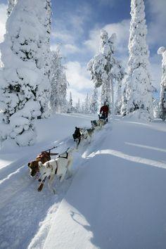 Ga als een speer door de Finse natuur achter op de hondenslee. #Finland
