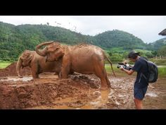 Imagine living your entire life in chains and fear, and then being rescued and brought to this elephant haven. Elephant Nature Park has given these two eleph. Elephant Nature Park, Elephant Ride, Asian Elephant, Save The Elephants, The Ugly Truth, Majestic Animals, Gentle Giant, Faith In Humanity, Amusement Park