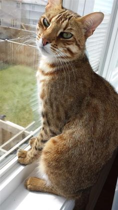 Lost Cat - Bengal - Angus, ON, Canada L0M 1B4