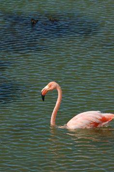 Phoenicopterus ruber; Greater Flamingo