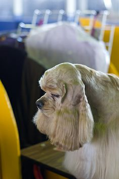 Cocker Spaniel at Westminster Kennel Club Dog Show Benching Photos